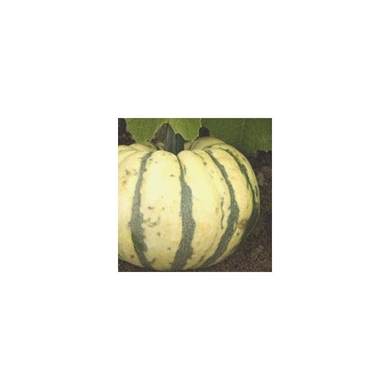 Courge Patidou Sweet Dumpling. Le pot compostable de 10,5 cm 207952
