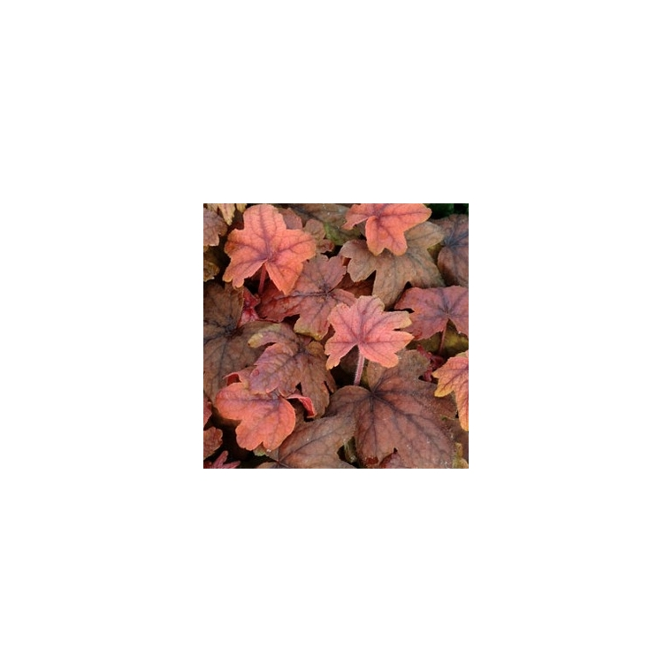 Heucherella sweet tea. Le pot de 12 cm 116300