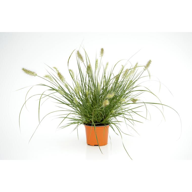 Pennisetum Alopecuroides Little Bunny. Le pot de 12 cm 116307