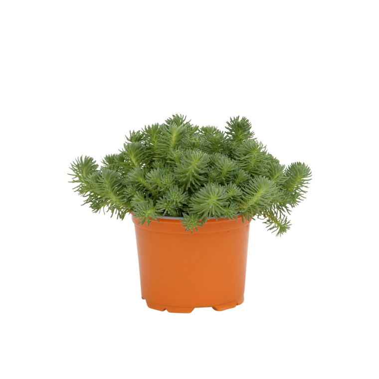 Sedum Anopetalum Green Ball. Le pot diam 12 cm 116313