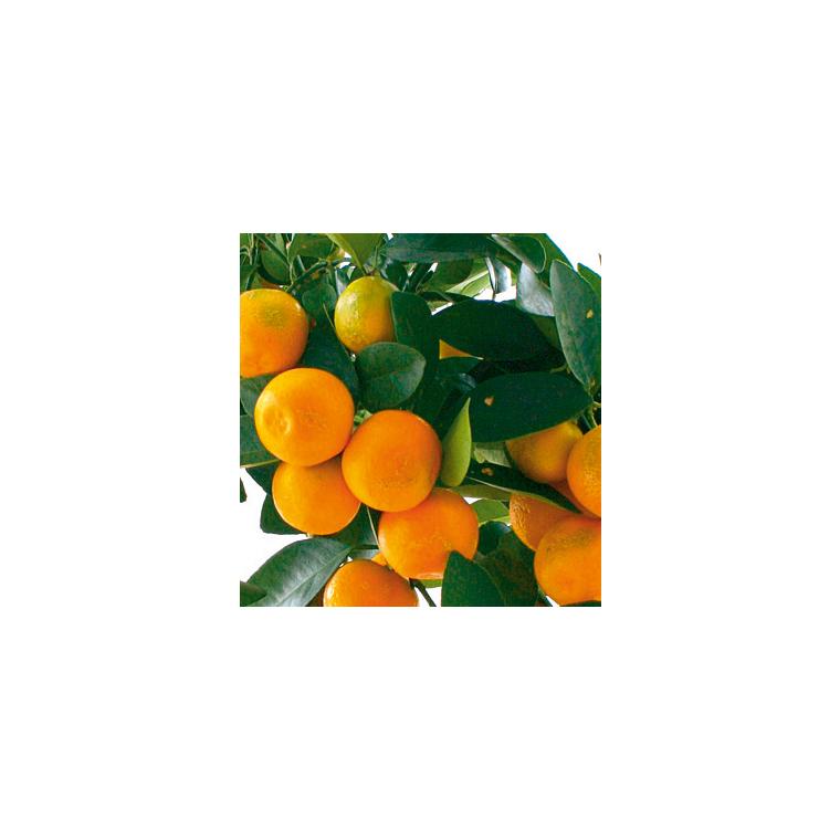 Mandarinier 1/4 de tige 117253