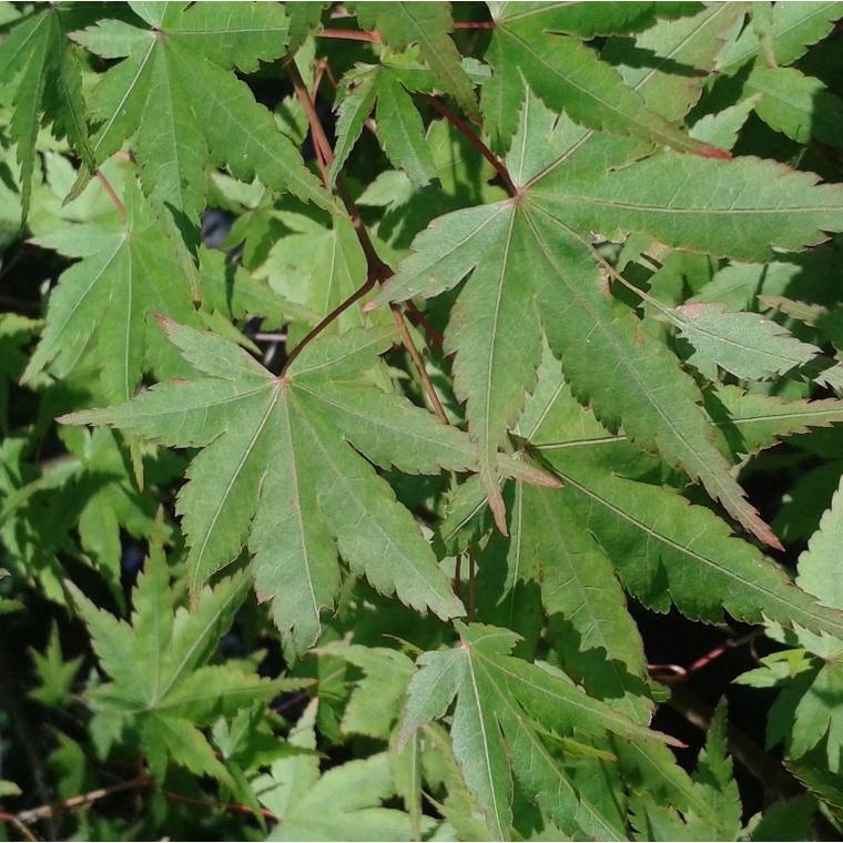 Acer Palmatum Vert (Érable du Japon)  ramifié en pot de 15 L vert 118315