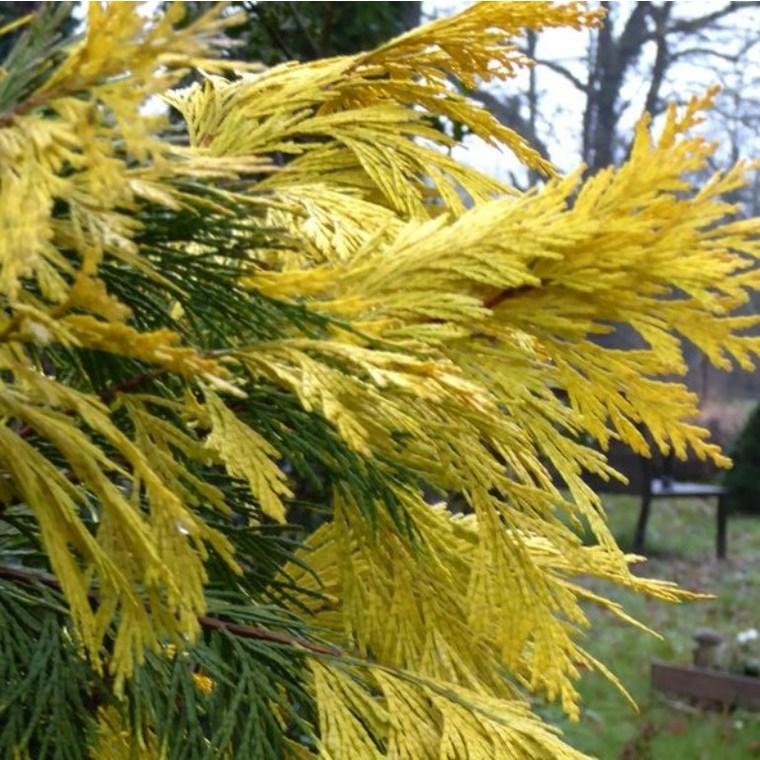 Calocedrus Decurrens Aureovariegato (Cèdre blanc de Californie) 150/175 en pot de 30 L jaune 118330