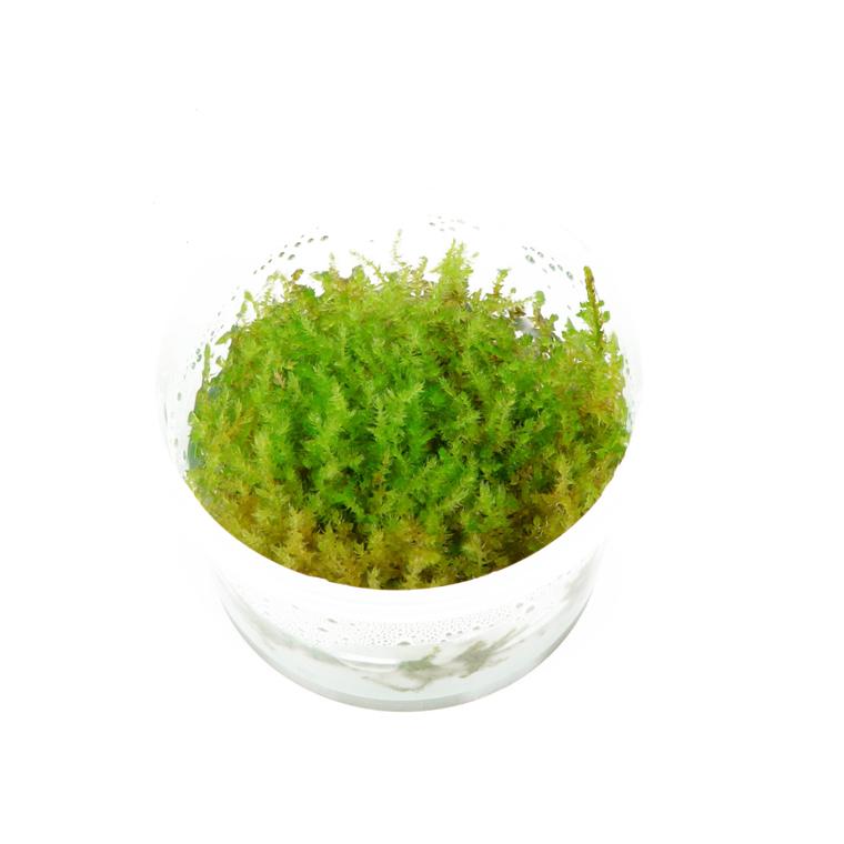 Vesicularia dubyana Christmas 126692