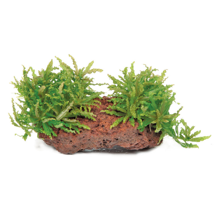 Plante aquatique Pogostemon Helferi sur roche 126727