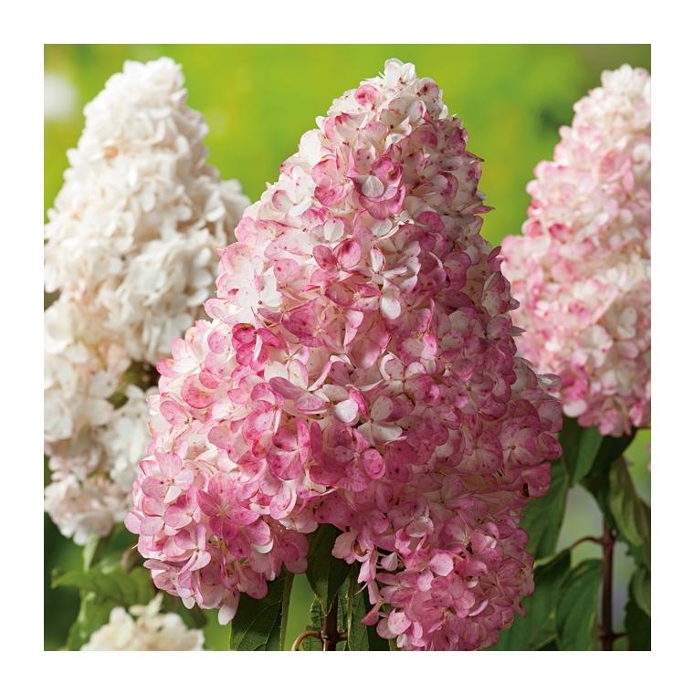 Hortensia Paniculata Vanille Fraise - pot 10 L 131067