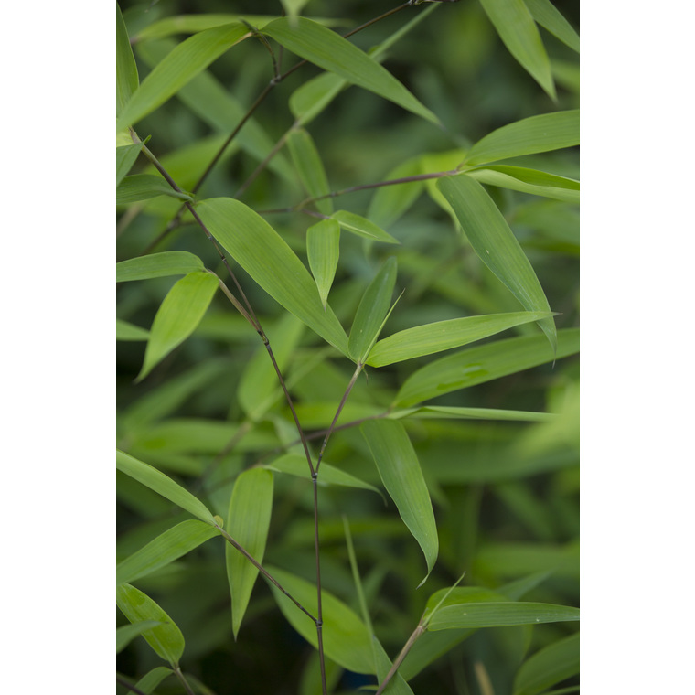 Bambou phyllostachys tip top vert pot de 3L 134538