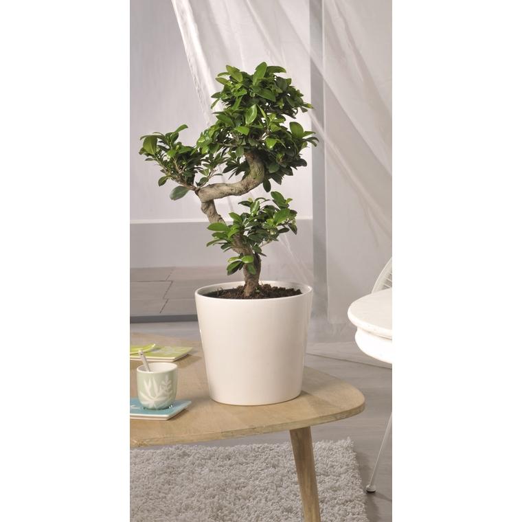 Ficus microcarpa ginseng 134578