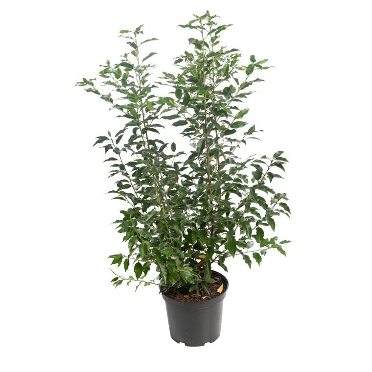 Troène du Japon - pot 3 L 136008