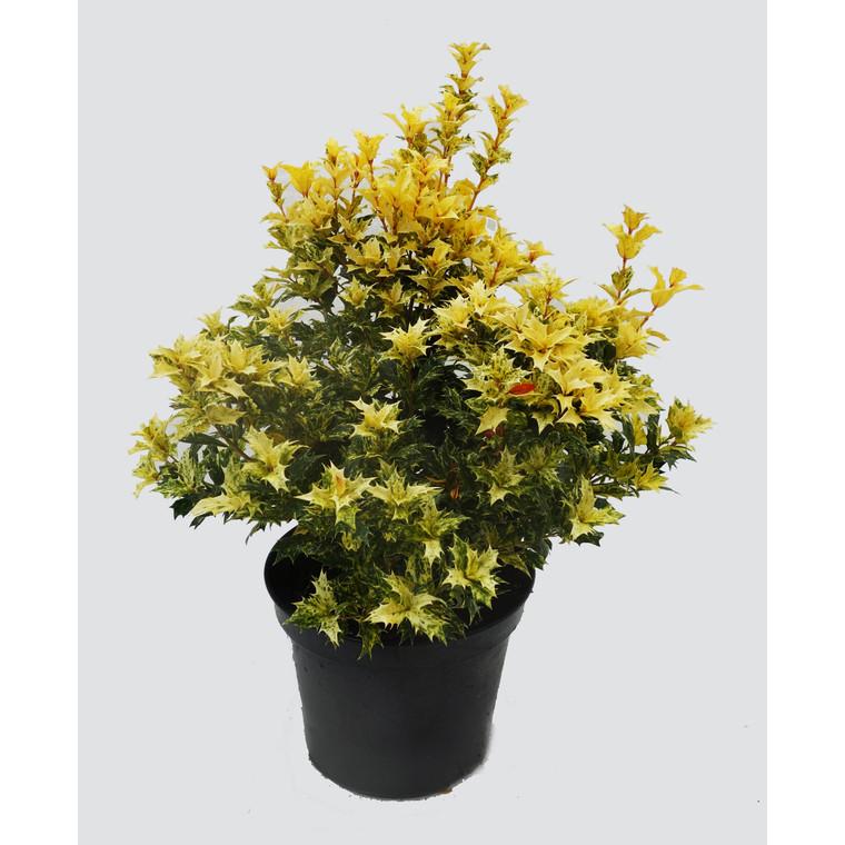 Osmanthus Heterophyllus Tricolor (Osmanthe panachée) 50/60 en pot de 7,5 L multicolore 136107