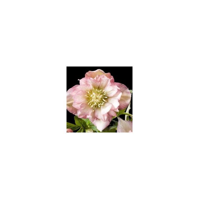 Rose de Noël rose. Le pot de 1 litre 137363