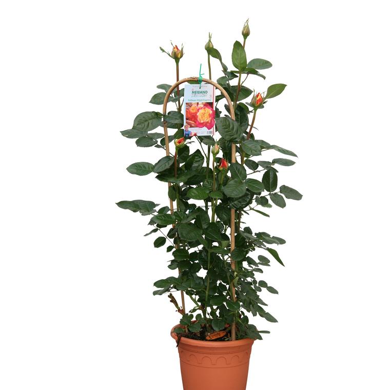 Rosier Grandes Fleurs tuteur – Pot déco de 6L 139394