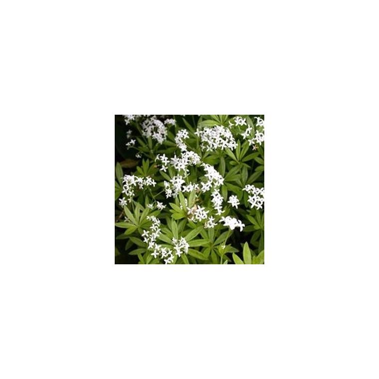 Aspérule Odorante bio. Le pot de 1 litre recyclé 234181