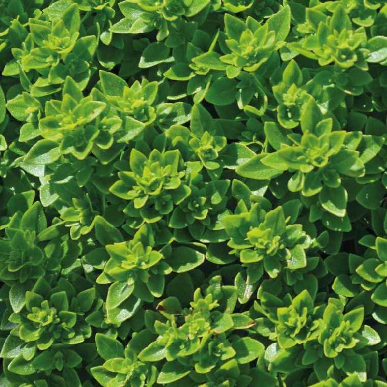 Basilic Fin Vert bio. Le pot recyclé de 2.5 litres 153593