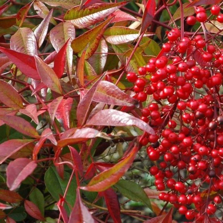 Nandina Domestica rouge en pot de jardinière de 15 L 155147