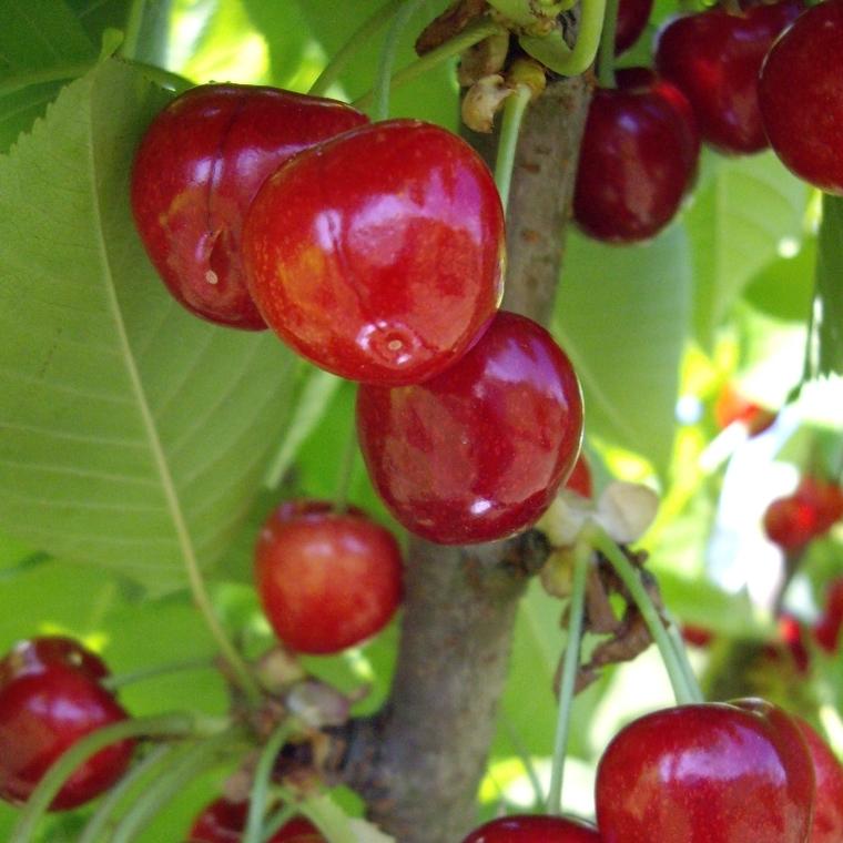 Cerisier Bigarreau Van 1/2 tige 6/8 racines nues 155367
