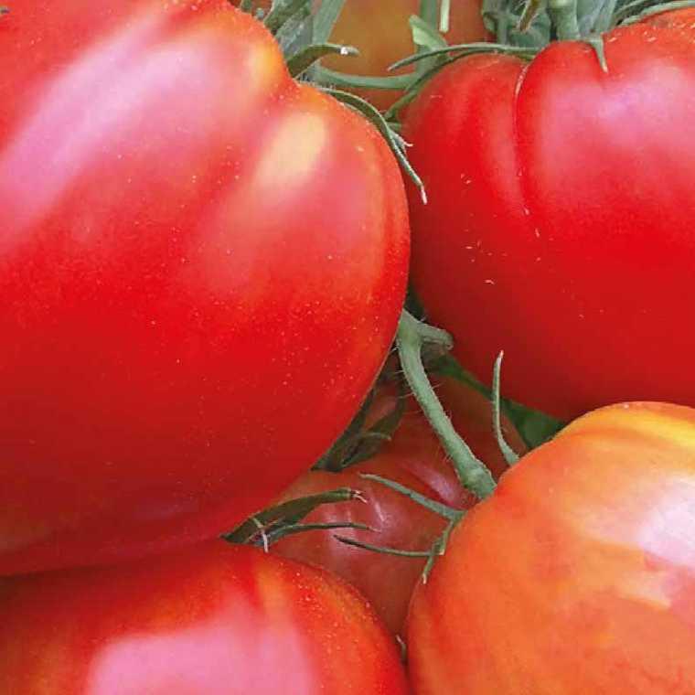 Tomate allongée Coeur de bœuf Cauralina. La barquette de 3 plants 165136