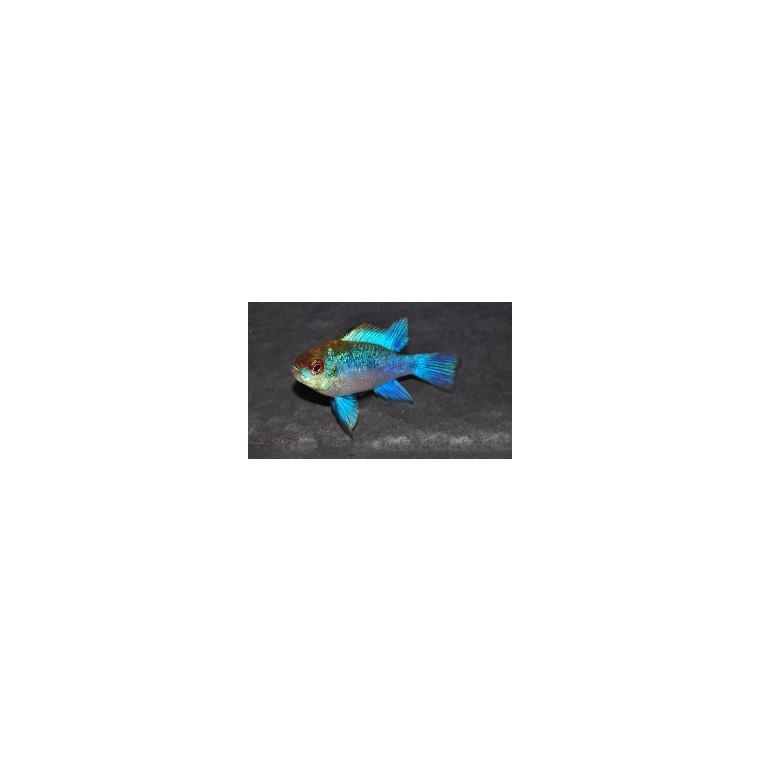 Ramirezi bleu électrique 166237