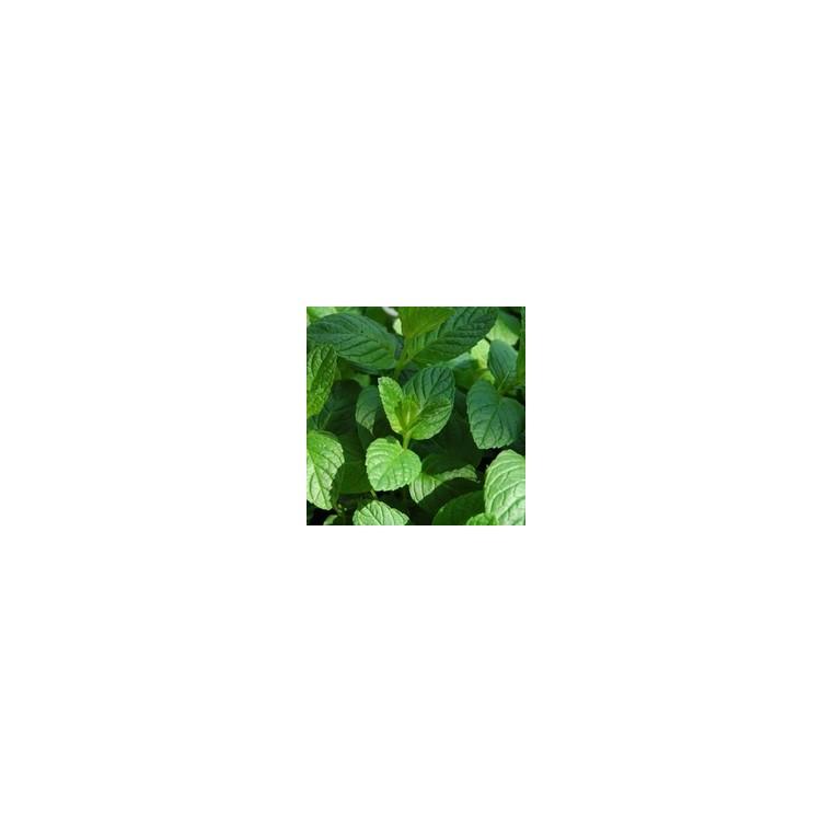 Menthe Verte bio. Le pot recyclé de 2.5 litres 14888
