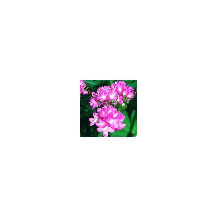 Gazon d'Espagne. La barquette de 6 plants 794363