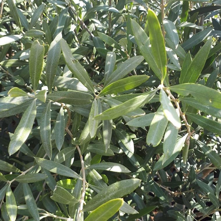 Olea Europaea ou Olivier en pot déco de 10 L 176589