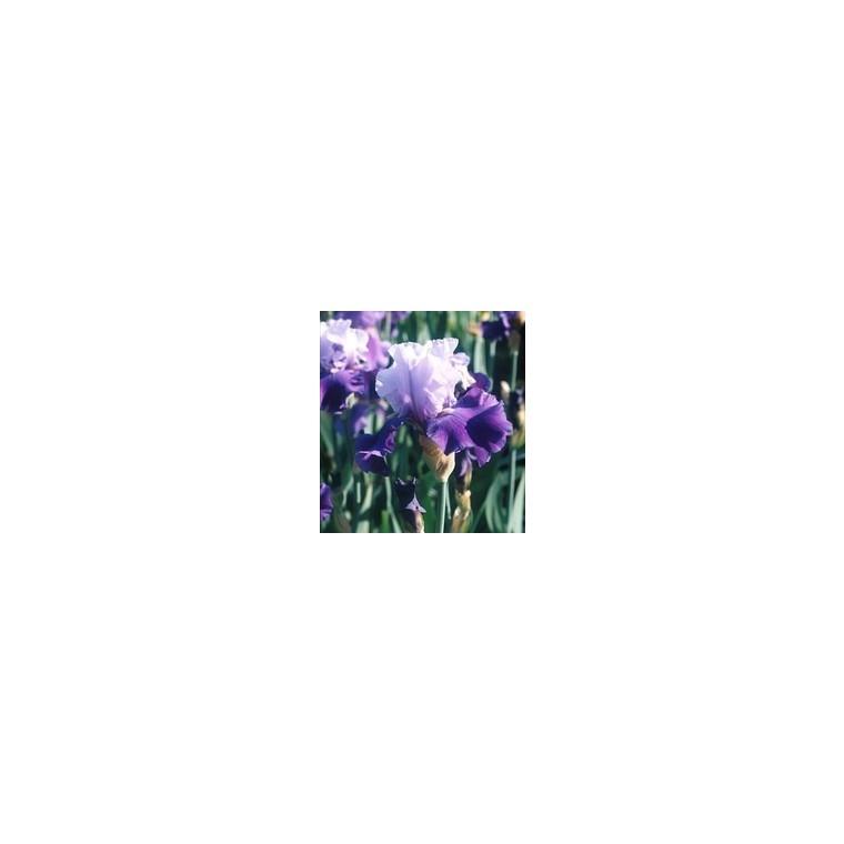 Iris Des Jardins. Le pot de 1 litre 176470