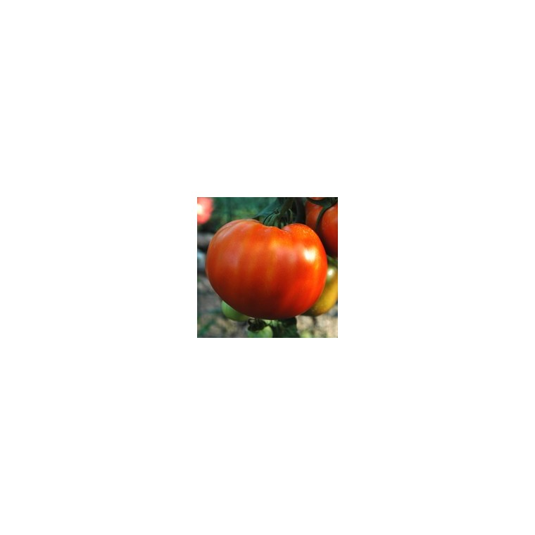 Tomate côtelée Potiron Écarlate bio. Le pot compostable de 10.5 cm 190676
