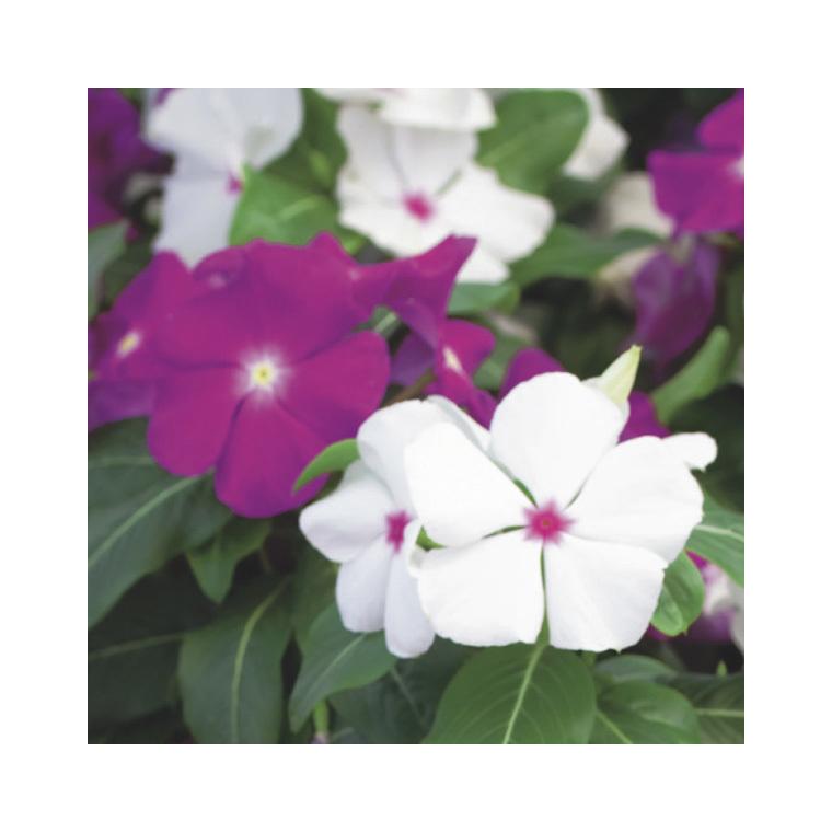 Pervenche de Madagascar. Le pack de 6 plants 179079
