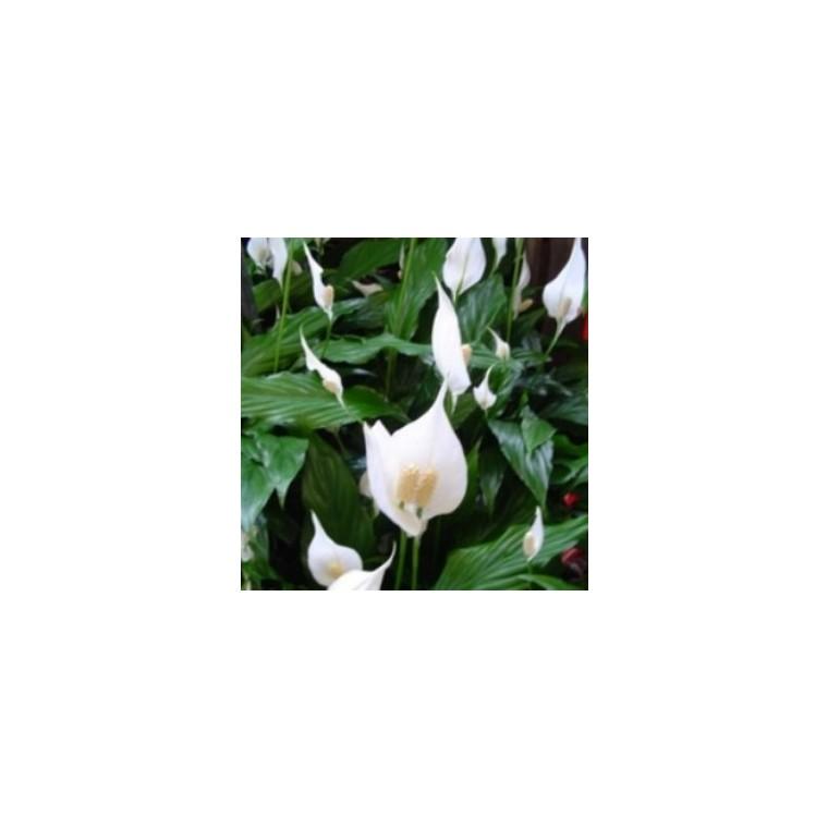 Spathiphyllum Sweet Laure 365762