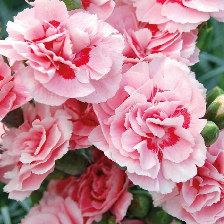 Oeillet Mignardise Rose A Oeil Pourpre. Le pot de 9x9 cm 183457