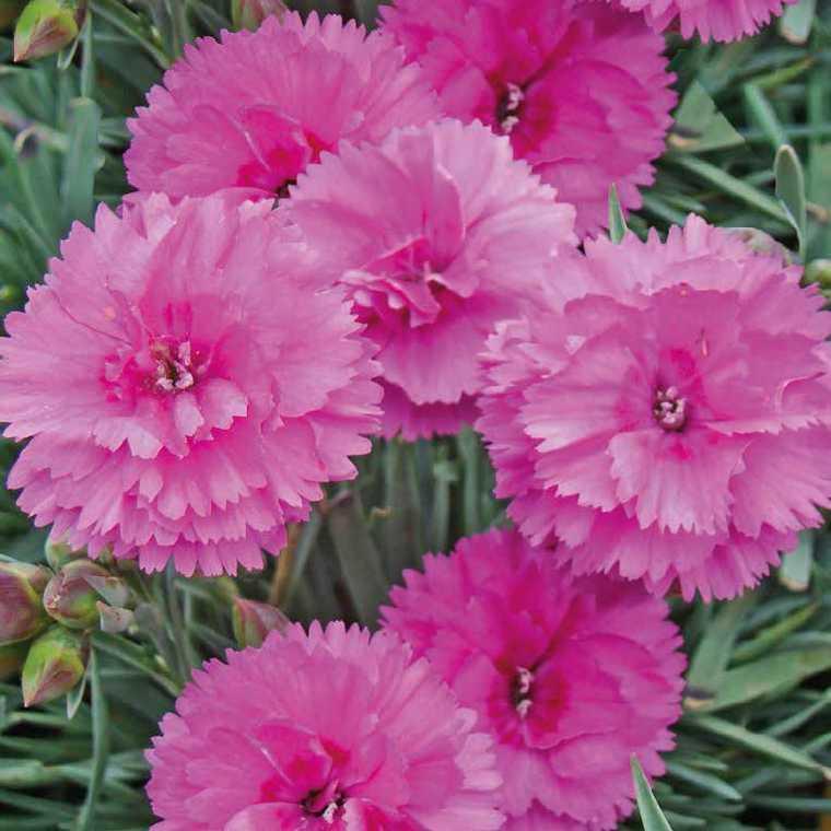 Oeillet Mignardise Rose Lavande. Le pot de 9x9 cm 183461