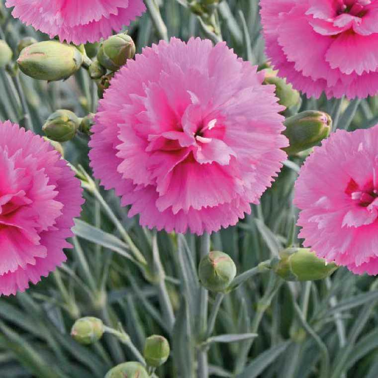 Oeillet Mignardise Rose A Oeil. Le pot de 9x9 cm 183463