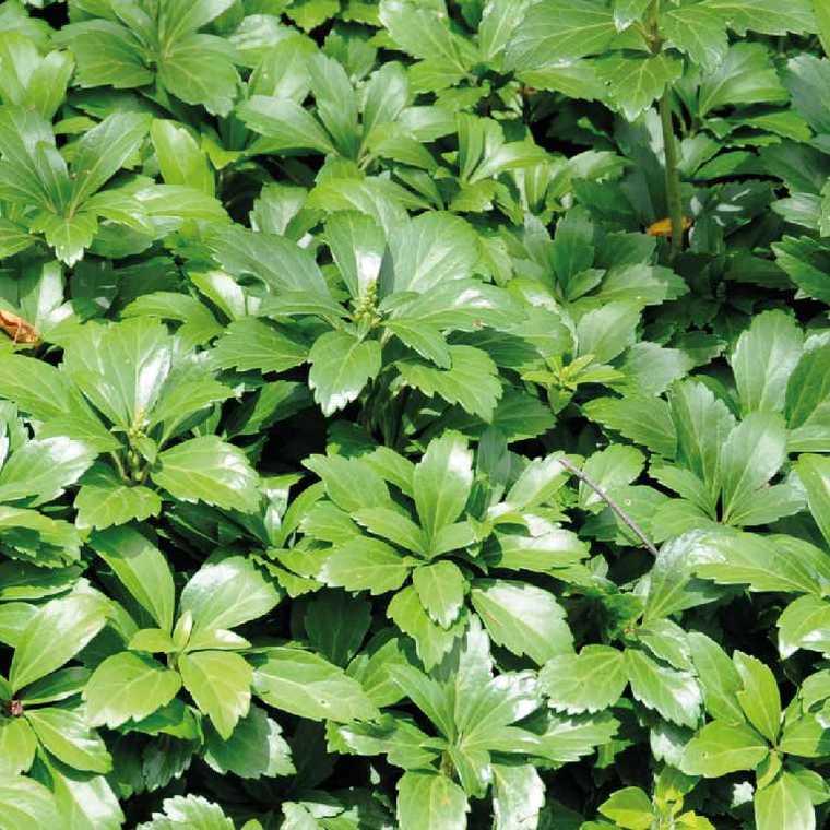 Pachysandra Terminalis. Le pot de 9x9 cm 183504