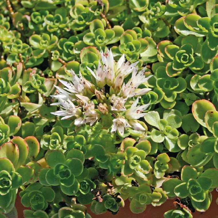 Sedum Spurium Blanc. Le pot de 9x9 cm 183521