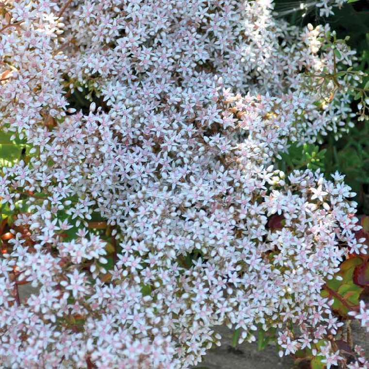 Sedum Album Coral Blanc. Le pot de 9x9 cm 183523