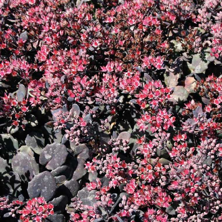 Sedum Cauticolum Rose. Le pot de 9x9 cm 183525