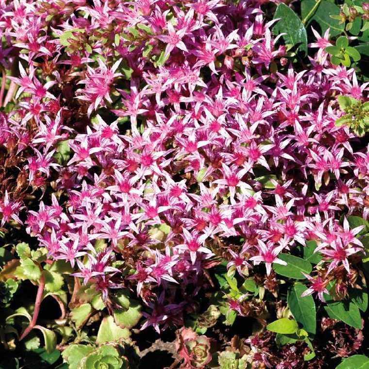 Sedum Spurium Rose. Le pot de 9x9 cm 183533