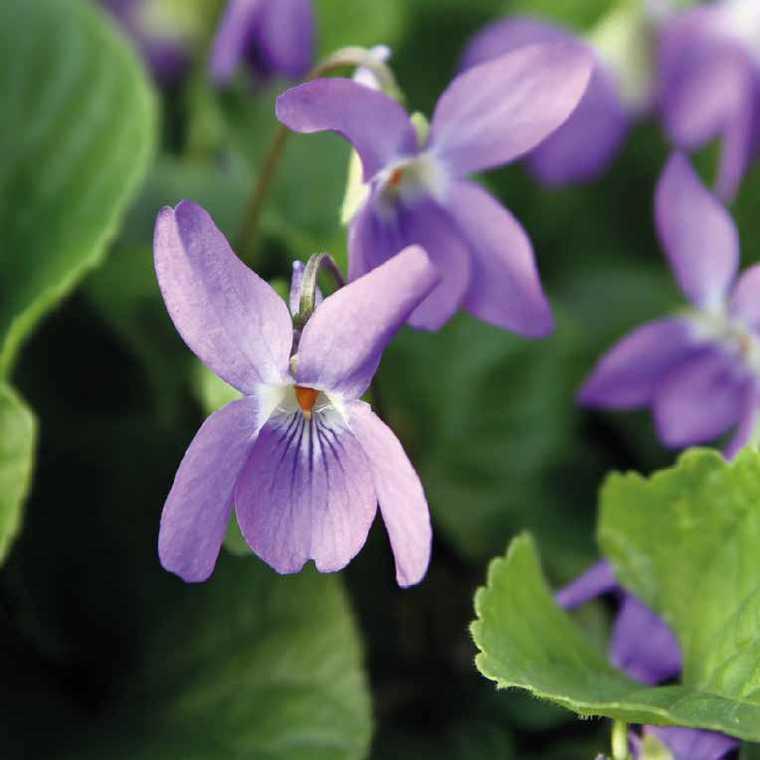 Violette Odorante Bleue. Le pot de 9x9 cm 183546