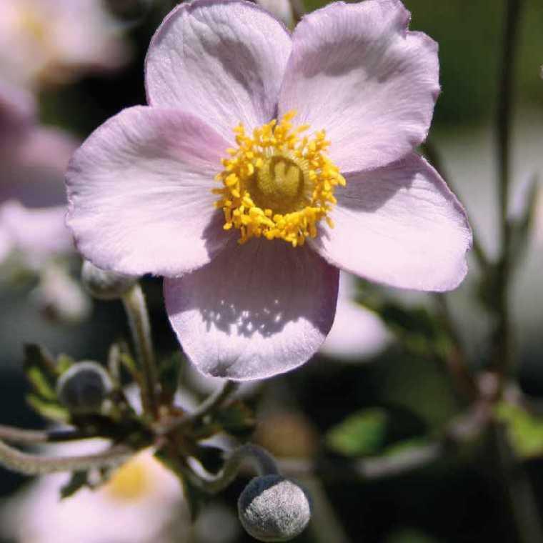 Anémone du Japon. Le pot de 9x9 cm 183549