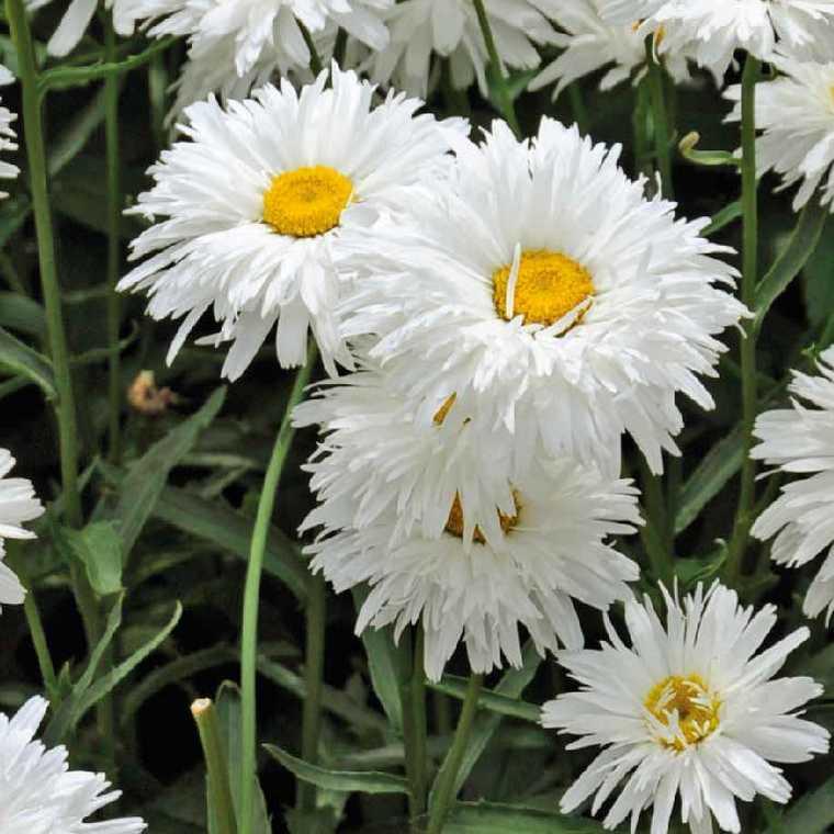 Marguerite d'été à fleurs doubles. Le pot de 9x9 cm 183587