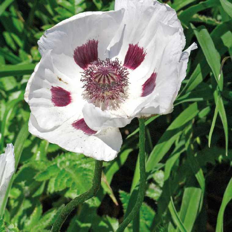 Pavot D'Orient Blanc. Le pot de 9x9 cm 183595
