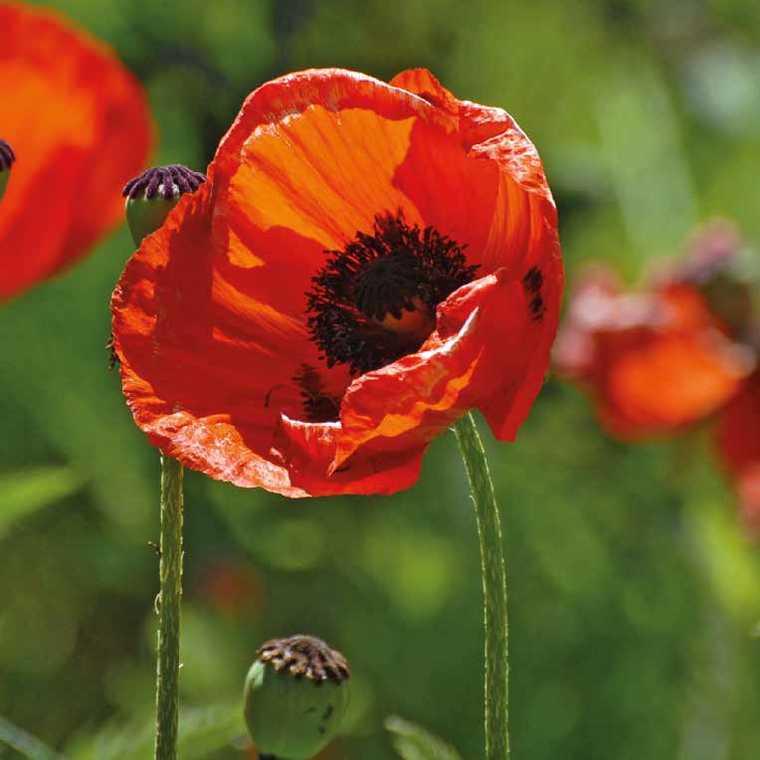 Pavot D'Orient Orange. Le pot de 9x9 cm 183596