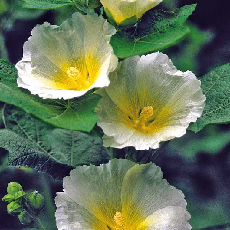 Rose Trémière Simple Blanche à œil jaune. Le pot de 9x9 cm 183621