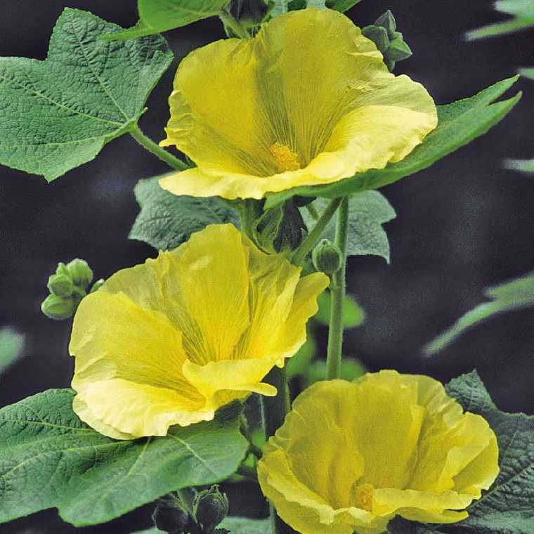 Rose Trémière Sunshine Fleur Simple Jaune Vif. Le pot de 9x9 cm 183622