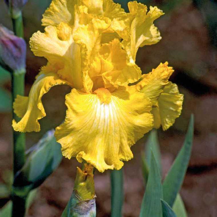 Iris Des Jardins Jaune. Le pot de 9x9 cm 183642