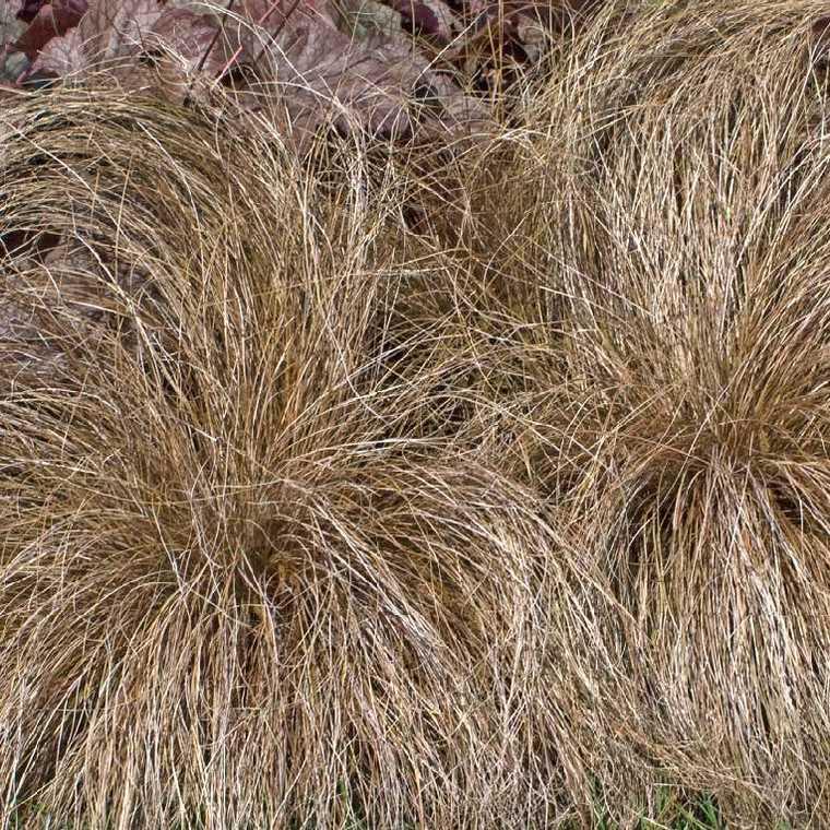 Carex Buchananii. Le pot de 9x9 cm 183662