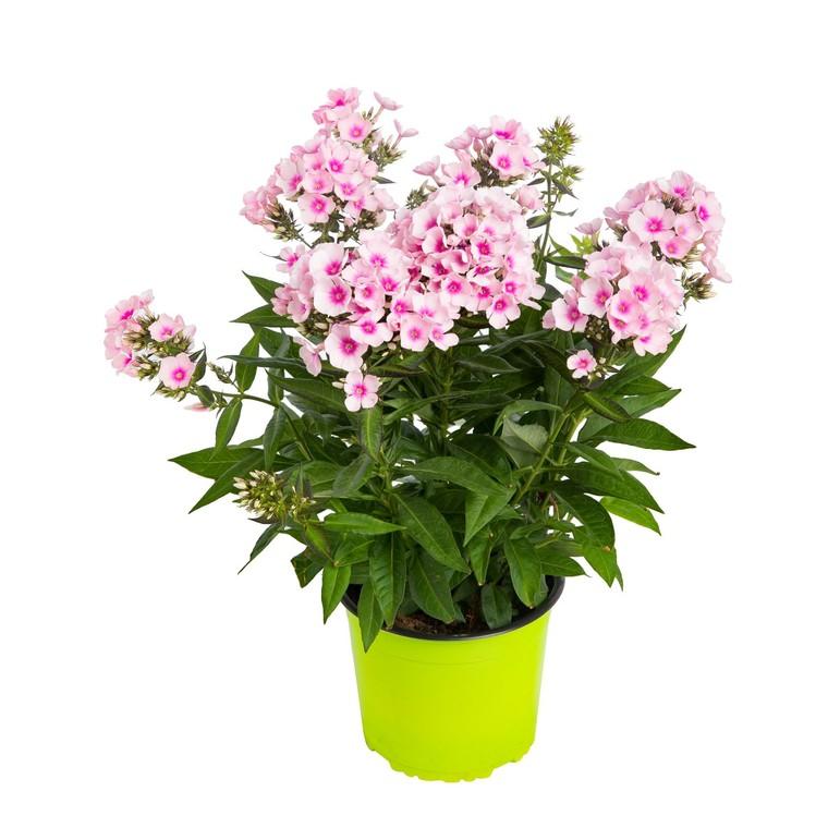 Phlox Paniculata Rose. Le pot de 9x9 cm 183683