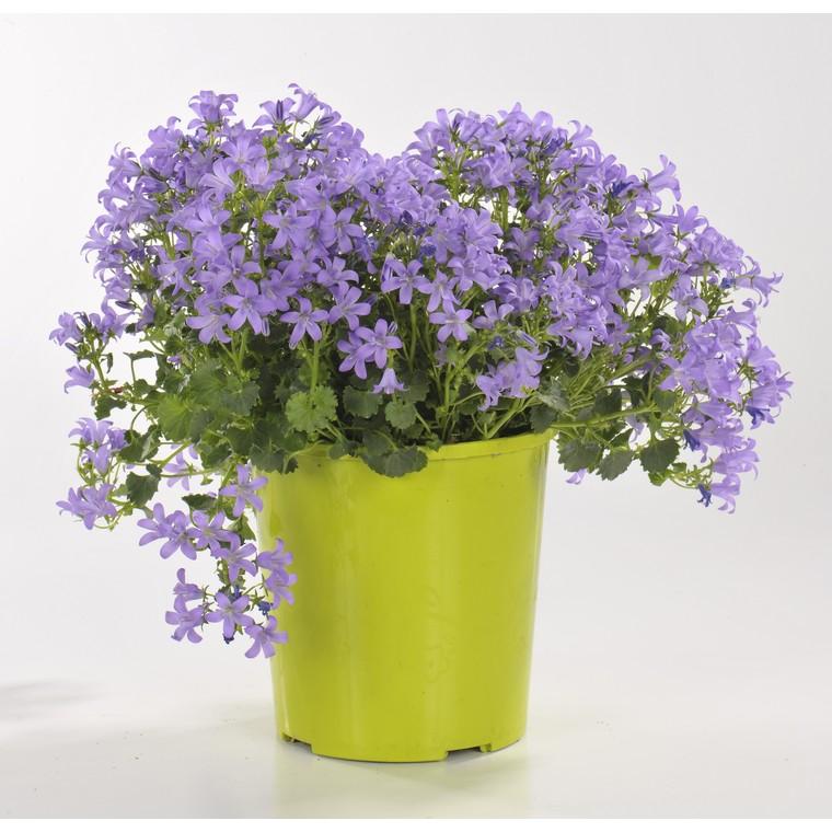 Plantes vivaces variées fleuries. Le pot de 2 litres 191059