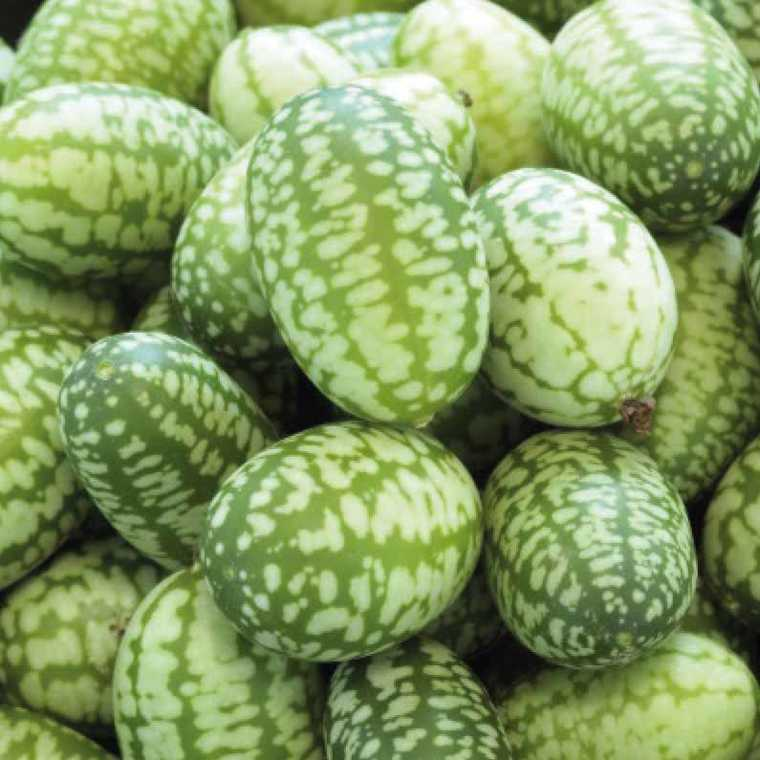 Mini Concombre Zhénaria. Le pot compostable de 10,5 cm 191177