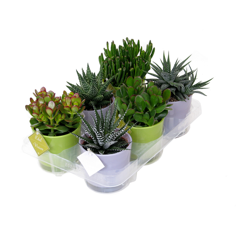 Plantes grasses et leurs cache-pots - modèle au choix 196562
